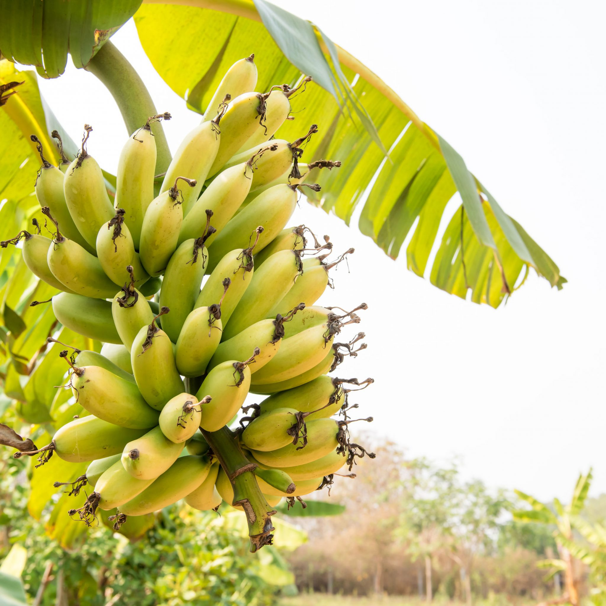 Increasing banana production with precision agriculture in